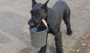 Lemon-the-farm-hand-dog-helps-out-by-carrying-a-bucket-of-wate-517211